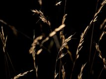 Backlit grass. On a sunny summer evening Stock Images