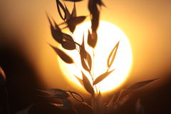 Backlit Grasses Royalty Free Stock Images