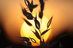 Backlit Grasses Royalty Free Stock Photos