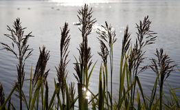 Backlit grasses against early morning lake. Lake scene with grasses framing a sunlit lake royalty free stock photo