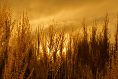 Backlit Grasses. Decorative grass backlit by a yellow sunset Stock Photo