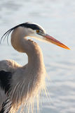 Backlit Great Blue Heron Stock Images