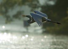 Backlit Great Egret In Flight Stock Images