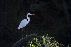 Backlit Great White Heron. A backlit great white heron, standing on a log. Photo is taken from a kayak stock images