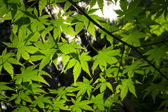 Backlit Green Acer Leaves. Green leaves on a Japanese maple tree Royalty Free Stock Images