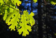 Backlit green leaf in a forest against a deep blue sky Stock Image