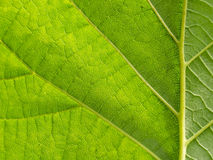 Backlit green leaf from underside Royalty Free Stock Image