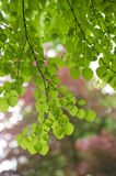 Backlit green leaves Royalty Free Stock Photos
