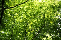Backlit green leaves of trees Stock Images