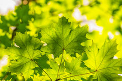 Backlit green maple leaves over blurred foliage Royalty Free Stock Image