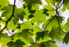 Backlit green tree leaves. Season and nature concept.  Stock Image