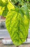 Backlit Groene Blad en Onzelieveheersbeestjeclose-up schoot in oud Nicosia, Cyprus verwerkt HDR Stock Afbeelding