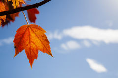 Backlit Hanging Orange Autumn Maple Leaf against Blue sky Royalty Free Stock Photos