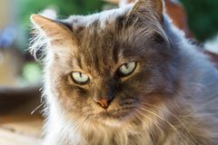 Backlit head of a Tiffany cat. Outdoors beautiful light close up royalty free stock image