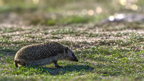 Backlit hedgehog walking on short grass Stock Image