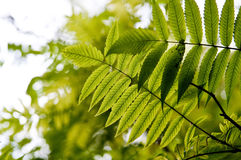 Backlit herfstbladeren Stock Afbeeldingen