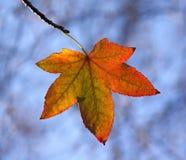 Backlit het Blad van de herfst Royalty-vrije Stock Foto's