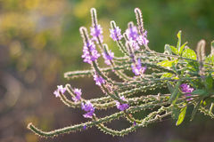 Backlit Hoary Vervain Wildflower royalty free stock photos