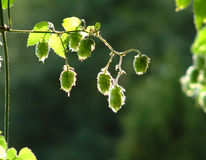 Backlit hops. Hops flowers on the stalk backlit by the evening sun with a blurred green forest backgound Royalty Free Stock Image