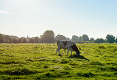 Backlit image of a grazing black spotted Holstein cow Stock Photo