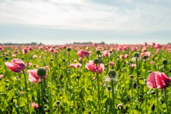 Seed box with stamens around it from a poppy in a large field. Backlit image of a large field with pink flowering and overblown poppy plants. The focus is on one stock photography
