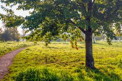 Backlit image of a tree silhouette in early morning sunlight. The tree grows in a Dutch park with other trees, dewy grass and a curved gravel path. It is stock image