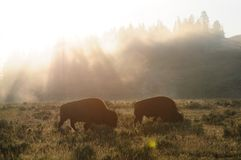 Bison Silhouttes at Dawn. Backlit images of a group of Bison in the Hayden Valley area of Yellowstone National Park Royalty Free Stock Photos