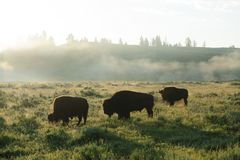 Bison Silhouttes at Dawn. Backlit images of a group of Bison in the Hayden Valley area of Yellowstone National Park Royalty Free Stock Image