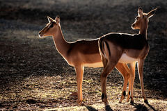 Backlit impala antelopes Stock Photography