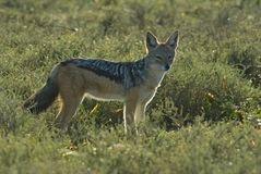 Backlit Jackal Stock Photo
