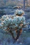 backlit kaktus cholla Zdjęcie Stock