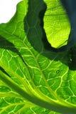 Backlit kale Stock Photo