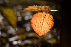 Backlit koloru żółtego i pomarańcze autumnn urlop Obrazy Stock