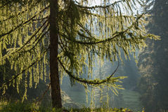 Backlit larch tree in forest Royalty Free Stock Image