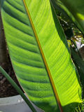 Backlit large leaf. Plants on display in the greenhouses at Elizabeth park in Hartford, CT Royalty Free Stock Photography