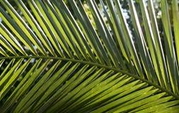 Backlit large palm leaf Royalty Free Stock Photography