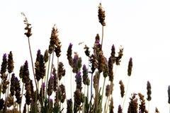 Backlit lavender plants. Lavender aromatic plants backlit over gray sky stock photo