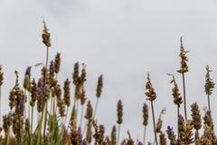 Backlit lavender plants. Lavender aromatic plants backlit over gray sky royalty free stock photography