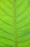 Backlit Leaf royalty free stock photo
