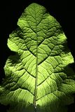 Backlit Leaf. A leaf lit by a flash from behind Royalty Free Stock Photography
