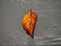 Backlit fallen leaf stuck in spider web Royalty Free Stock Photos