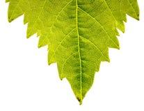 Backlit leaf Stock Image