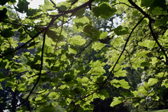 Backlit Leaves. Sunlight shining behind leaves on a summers day Royalty Free Stock Photography