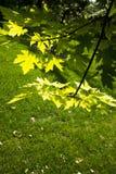 Backlit leaves Royalty Free Stock Image