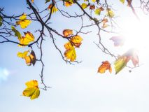 Backlit Leaves Autumn Stock Photos