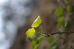 Backlit leaves close-up. New long poplar leaves, backlit film Royalty Free Stock Image