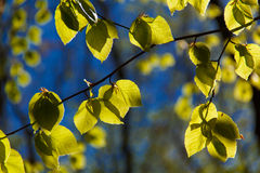 Backlit Leaves 3 Royalty Free Stock Image