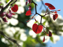 Backlit Leaves of Forest Pansy Redbud. Brilliant new heart-shaped leaves of Cercis canadensis Forest Pansy (Eastern Redbud variety) with dogwood in background Royalty Free Stock Image