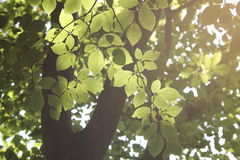 Backlit leaves Royalty Free Stock Images