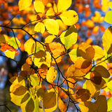 Backlit leaves on a tree in autumn Stock Image